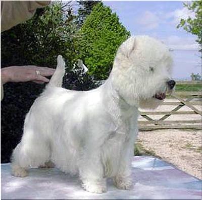 Piesporadnikpl West Highland White Terrier