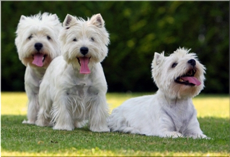 Piesporadnikpl West Highland White Terrier